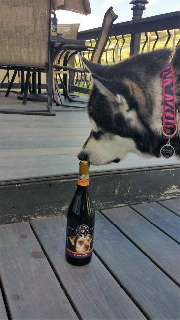 Mojito giving Chateau La Paws' pinot noir a good sniff